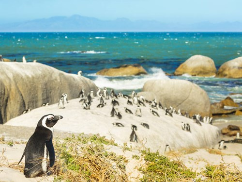 Penguins on Boulder Beach in Cape Town