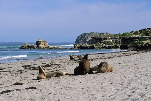 Sea lions on Kangaroo Island
