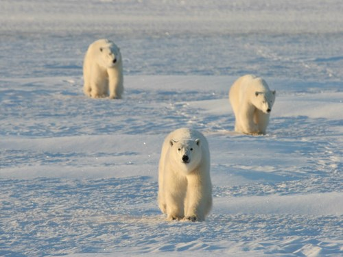 Polar bears migrating through Churchill, Manitoba in Canada