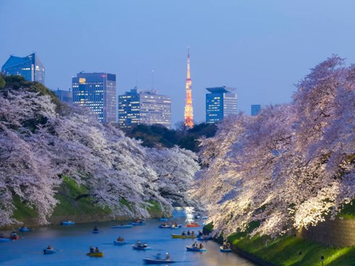 Cherry blossom in Tokyo, Japan