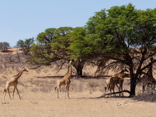 Kgalagadi Transfrontier Park in South Africa
