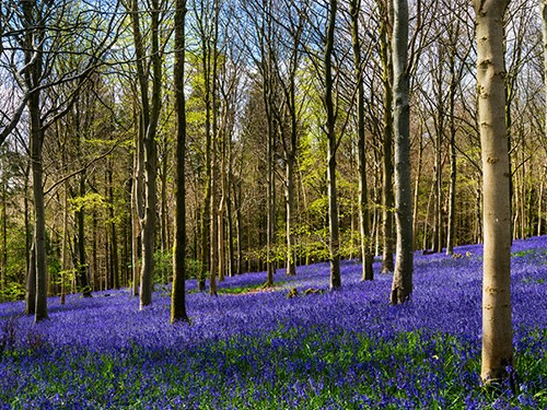 Bluebell woods UK