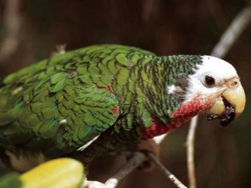Abaco Parrot in the Bahamas